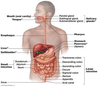 digestive organ core