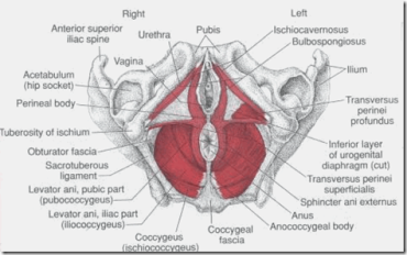 coccygeal and perineal bodies