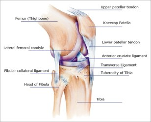 knee-tendons-ligaments