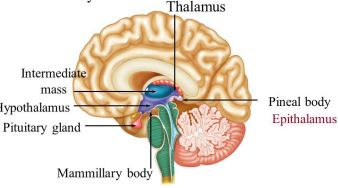 mammilary pineal pituitary