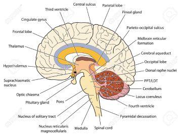 pineal, pituitary etc