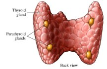 thyroid+parathyroid