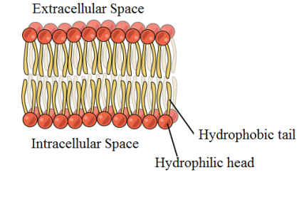 phospholipid-bilayer